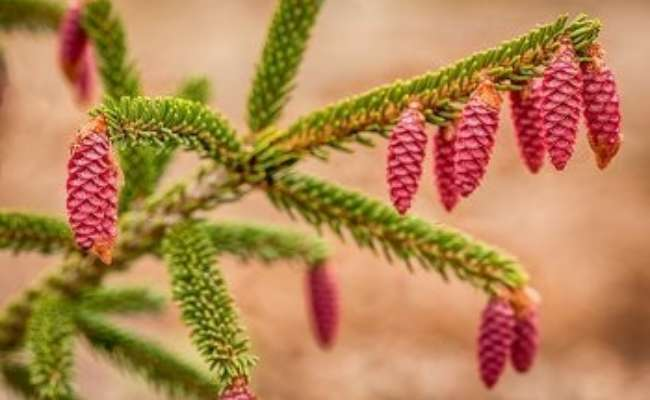 10 Types of Spruce Trees Everyone Should Know