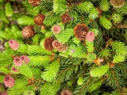 Picea abies 'Pusch' cones amidst fresh green needles