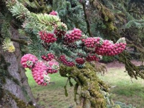Male cones, or strobili, on Abies numidica, Algerian fir