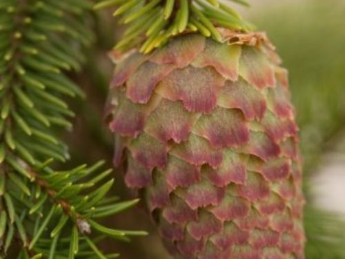 Picea abies 'Acrocona' has pink-tipped terminal seed cones