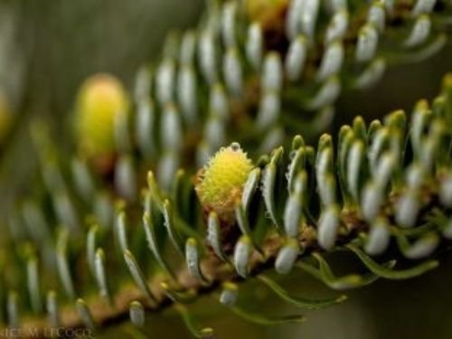 Very young seed cones on Korean fir
