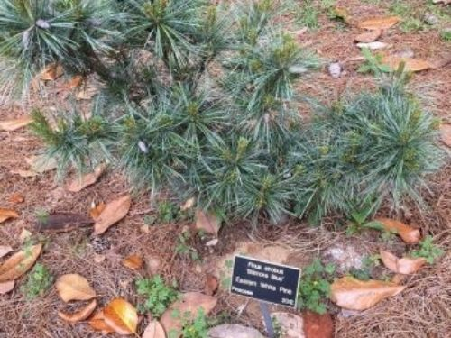 Pinus strobus 'Biltmore Blue' has also been relocated.