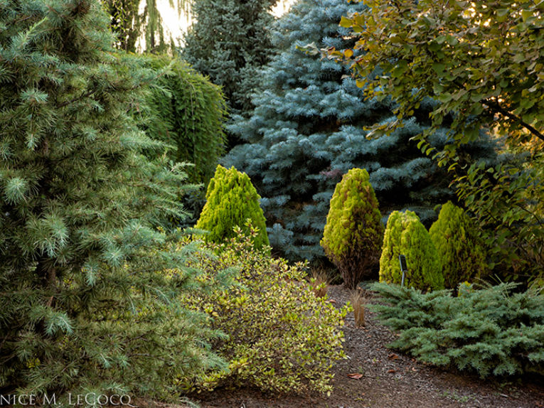 The Oregon Garden conifer collection