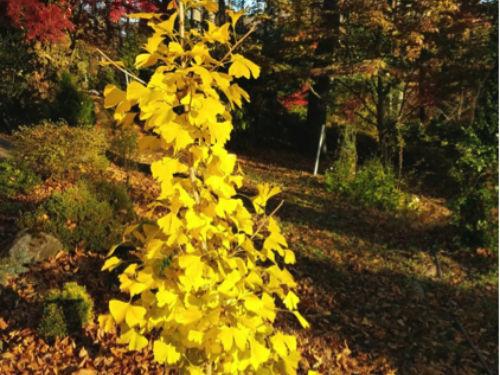 Ginkgo biloba 'Beijing Gold' under stock, pruned to columnar form, or what I call 'making lemonade'