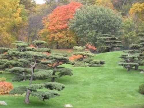 Sculpted Pinus sylvestris at the Chicago Botanic Garden