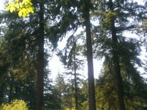 Towering Douglas firs (Pseudotsuga menziesii) at the Hoyt Arboretum
