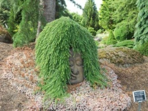 """Tsuga heterophylla 'Thorsen's Weeping' — the famous """"head of state"""" in the Oregon Garden."""