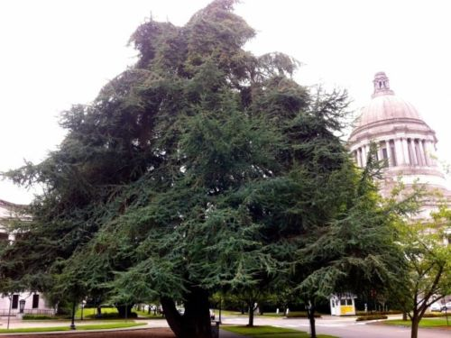 Cedrus atlantica, the Atlas Cedar, on the campus of the Washington State Capitol campus, just up the street from where the WSR held its regional meeting, September 13-15, 2013.