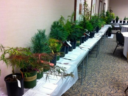 Rare and unusual conifers, some 140 cultivars, await anxious bidders in the benefit auction at the Western Regional Meeting in September 13-15, 2013.