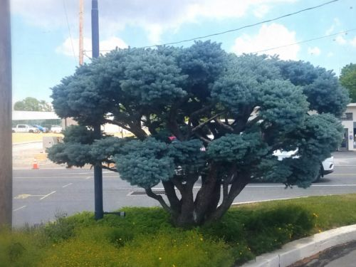 This Picea pungens 'Glauca Globosa' is thriving in Lancaster, PA. The pruning has helped with air circulation