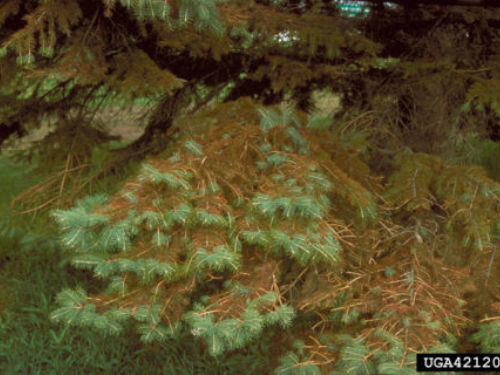 Blue spruce with needle cast disease. Photo by University of New Mexico Extension