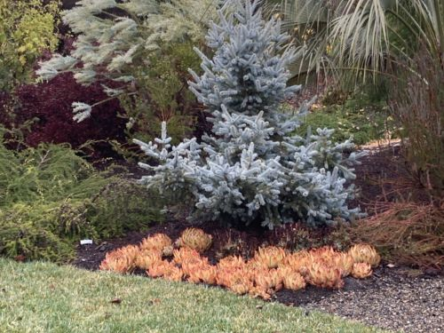 Picea pungens 'Jan Byczkowski' in Northern California's Mediterranean zone 9b