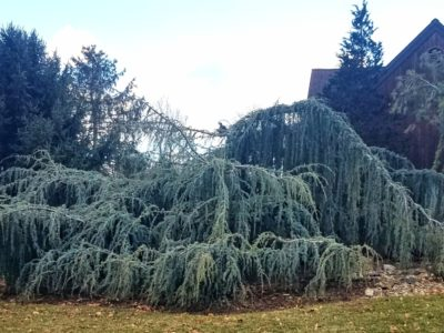 Cedrus atlantica 'Glauca Pendula' in winter, in a zone 6b Pennsylvania garden. Photo by MIke Larkin.