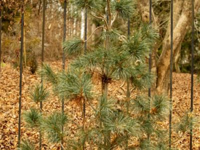 Pinus parviflora 'Blauer Engel' at the Cox Arboretum in Canton, GA. Photo by Tom Cox