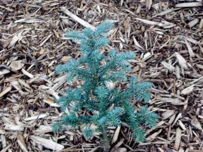 Abies balsamea 'Tyler Blue' in a Detroit-area garden