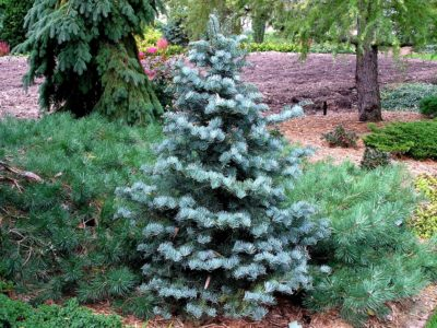 Abies concolor 'Archers Dwarf' in a Detroit-area garden