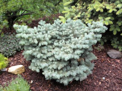 Abies concolor 'King's Gap' in a Detroit-area garden