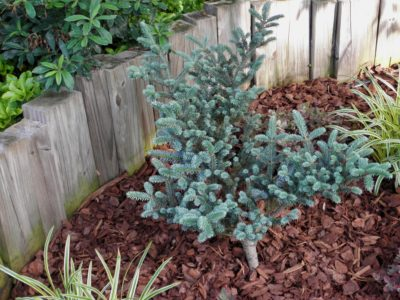 Abies fraseri 'Wingle's Blue Bonnet' in a Detroit-area garden