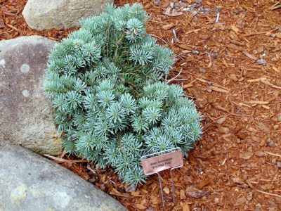 Abies lasiocarpa 'Prickley Pete' in a Detroit-area garden
