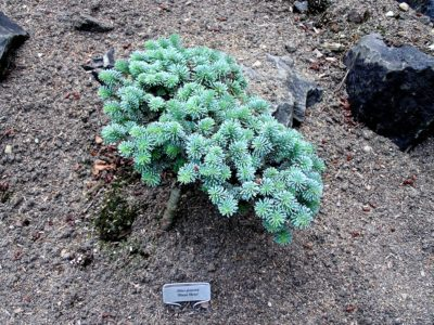 Abies procera 'Blaue Hexe' in a Detroit-area garden