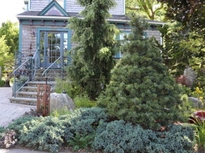 A swath of Juniperus scopulorum 'Blue Star' in a Boston-area garden. Photo by Christie Dustman
