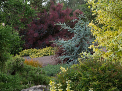 Cedrus atlantica 'Horstmann' in a Sonoma County CA garden. Photo by Janice LeCocq