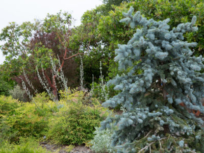 Picea asperata 'China Blue' in a Sonoma County CA garden. Photo by Janice LeCocq