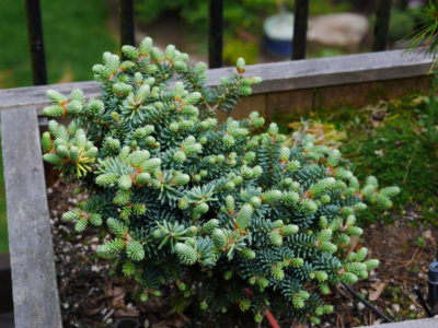 Abies pinsapo 'Fatima' in a Portland, OR garden. Photo by Anton Klemens