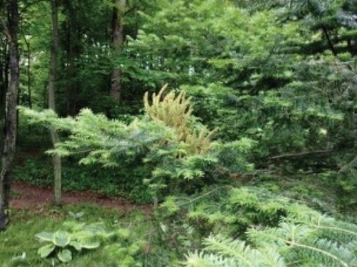 """Editor's note: This article is excerpted from a Central Region newsletter and recounts a discussion at the National Meeting in Ohio in 2016.  Question: This growth is on a fir growing on my daughter's property near Eau Claire, Wisconsin. It looks like a broom, but not quite. What the heck is it? —Jerry Belanger Answer (Chris Daeger): Well, it certainly appears to be a broom. A typical witch's broom is normally congested and has a much slower growth rate: That is why I question it; as it appears to already have an intermediate's growth rate or something faster than what the spring's growth shows on the rest of the fir. It could be an extremely rare example of a broom exhibiting """"giant"""" tendencies. Yes, we could surmise it being a reversion of sorts since those do have a higher growth rate than the original plant. If it is just a seedling grown straight species Abies, the growth as it appears now (single attachment question really needs to be determined) then it is plausible that this weird growth was caused by a viral organism. It still can be genetic in nature (a good thing) that caused the original bud to mutate, as a reversion can be as well. Only time will tell and giving some future grafts 10 years to grow and evaluate will prove that it is healthy and reasonably safe to pass it on. If this weird growth is coming from multiple points along that branch, then I'd bet that something disease-related caused all that growth, much like a canker disease. Additional photos and information were provided: the tree is a straight species Abies. Well, it certainly appears to be a witch's broom of some sort since it originates at a single point. Now, what caused it remains a mystery, being either viral or a disease-influenced or a genetic reason. The latter is what one hopes for — those tend to be """"graft-able"""" or maybe """"root-able"""". I'd like to gather these shots and present them as a Conifer Sketch at the national meeting. Some additional theories and opinions might help us. A"""