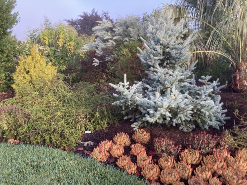 Picea pungens mixes with Echeveria at the Circle Oak Ranch
