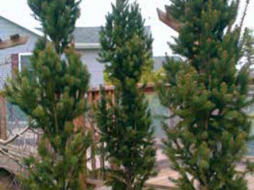 The conifer, Norway Spruce (Picea abies 'Cupressina') in clay-loam