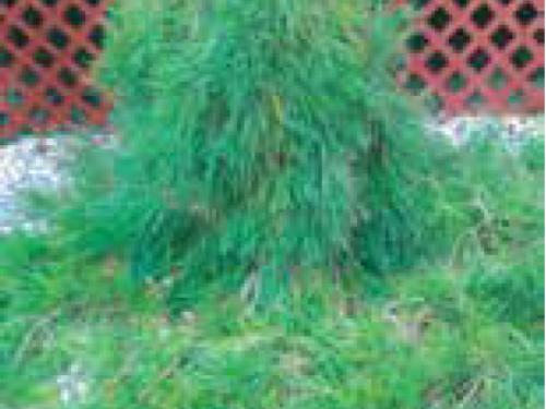 The conifer, Japanese red pine (Pinus densiflora 'Pendula') in clay soil