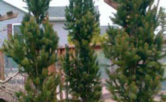 Best Soil for Conifers