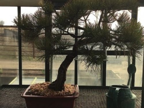 Pinus ponderosa in its new pot