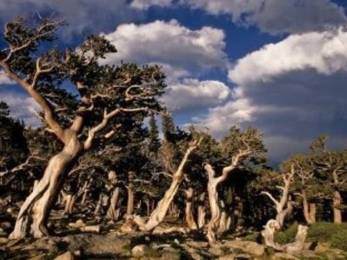 These ancient Colorado bristlecones patiently await our arrival on Mt. Goliath