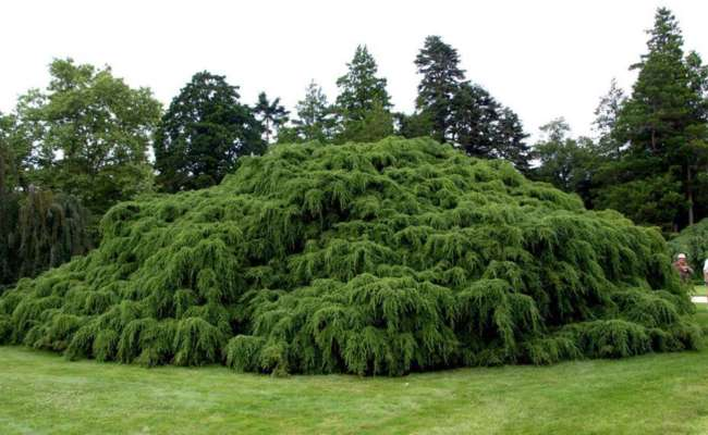 Dwarf Conifers: Canadian Hemlock