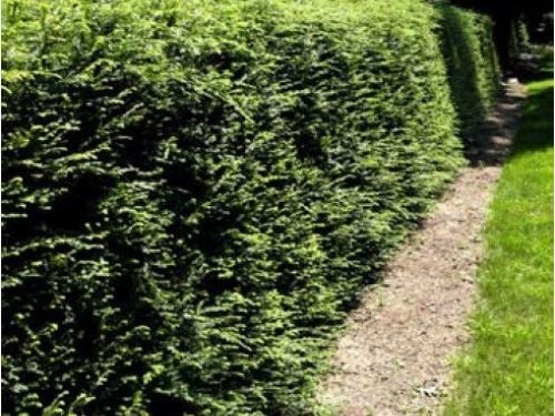 A hemlock hedge, formerly common, before identification problems