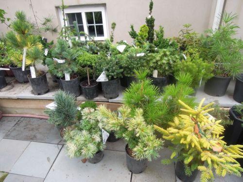 2016 NE Region Auction Conifers