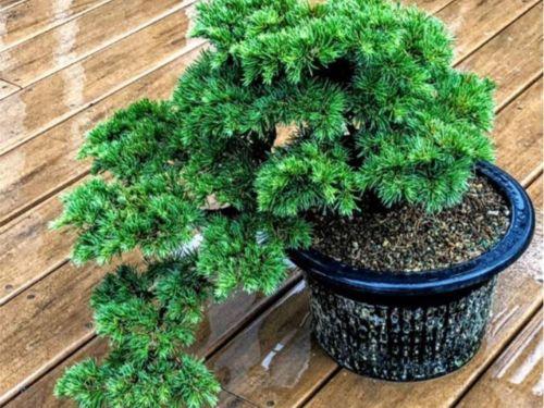 The conifer, Cedrus atlantica 'Hillier's HB'