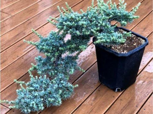 The conifer, Cedrus atlantica 'Horstmann in cascade style of bonsai