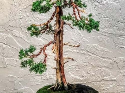 The conifer, Juniperus chinensis 'Shimpaku' as cascade upright bonsai on a rock