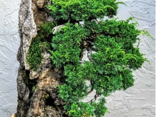 The conifer, Juniperus chinensis 'Shimpaku' as cascade bonsai on side of rock