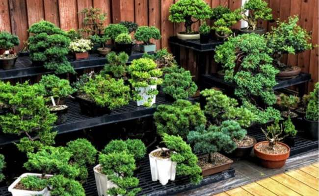 Conifer Bonsai Care: Planting, Repotting, and Fertilizing