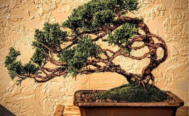 Conifer Bonsai Shaping American Conifer Society
