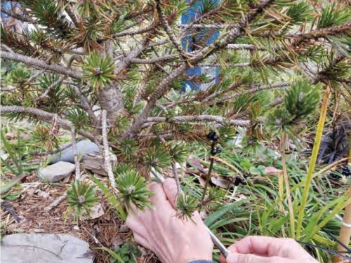 Leah taking a closer look at the Rocky Mountain bristlecone pine (Pinus aristata) and signs of its disease. Photograph by Leah Alcyon