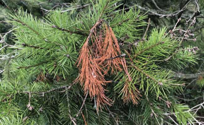 Conifer Fungal Diseases and How to Prevent Them