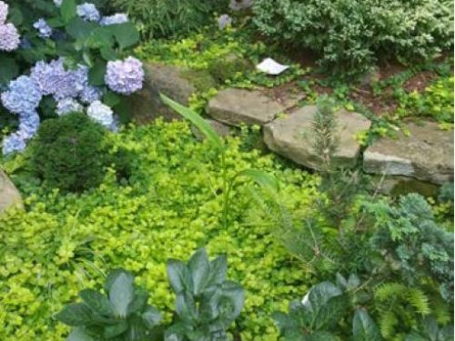 Ground cover, as in the Tuttle Garden in Raleigh, provides a range of color, texture, and height for conifer gardening