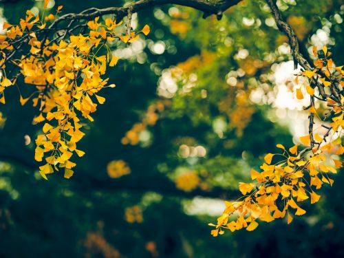 Ginkgo are not strictly conifers, but the American Conifer Society includes them under its umbrella