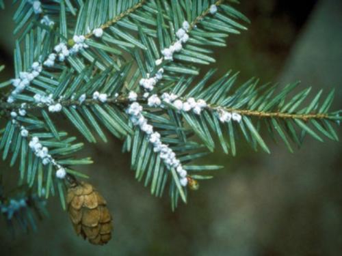 A conifer pest, the hemlock woolly adelgid (HWA), Adelges tsugae