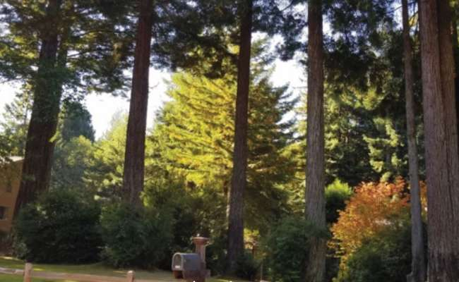 Conifer Pruning Styles